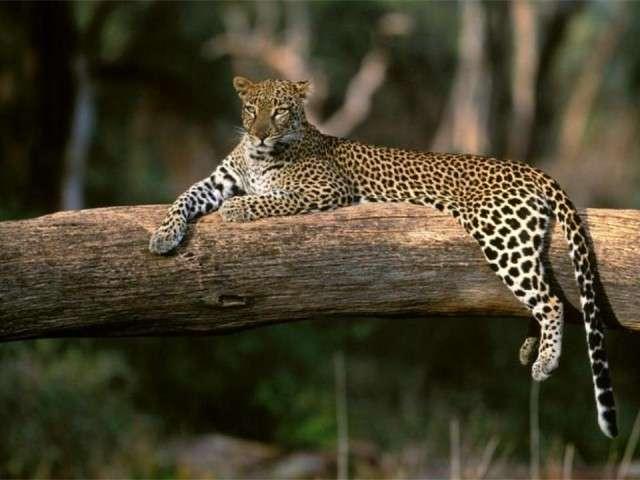فهود اسود ونمور برية الحيوانات المفترسة feline14.jpg